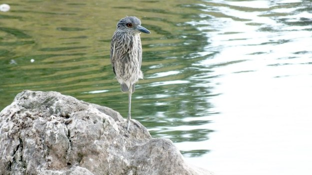 yellow crowned night heron - juvenile - col sam smith park - etobicoke pic 6