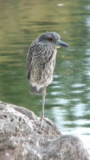 yellow crowned night heron - juvenile - col sam smith park - etobicoke