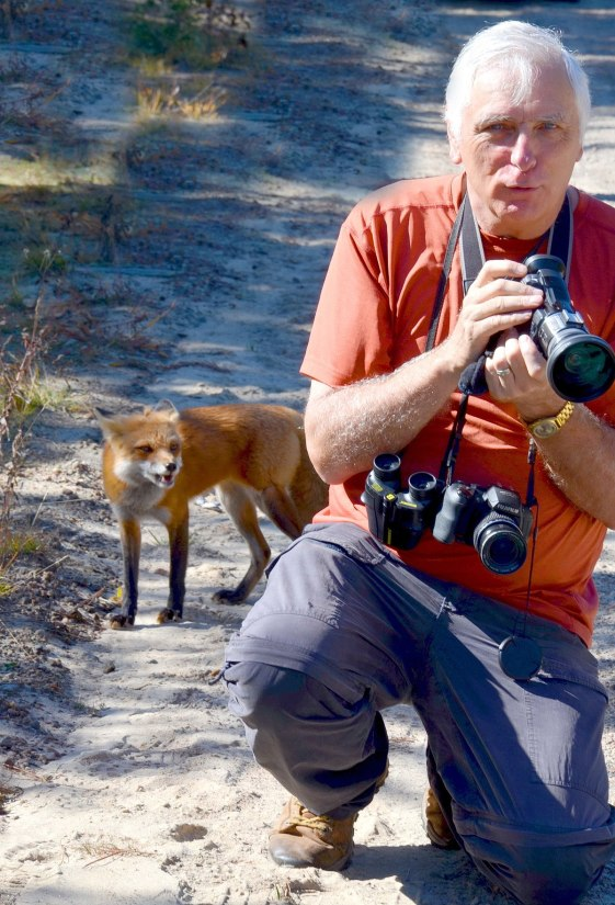 red fox in algonquin park - fall of 2014 - pic 14