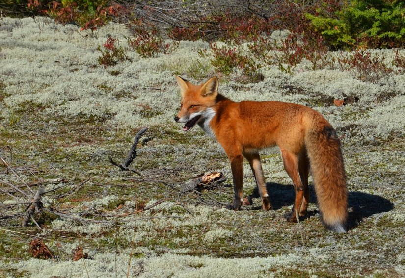 red fox in algonquin park - fall of 2014 - pic 15