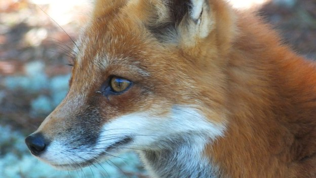 red fox in algonquin park - fall of 2014 - pic 19