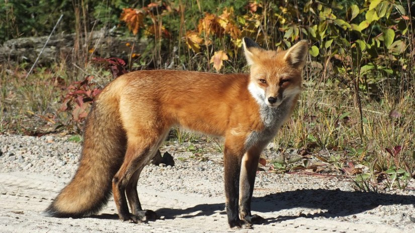 red fox in algonquin park - fall of 2014 - pic 2