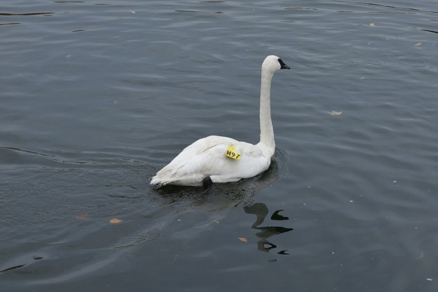 trumpeter swan 97 released from carrying box_milliken park_toronto