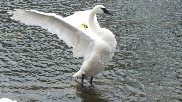 trumpeter swan M97 at milliken park - toronto 2