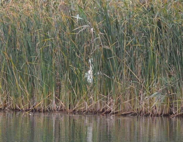 trumpeter swan M97 at milliken park - toronto