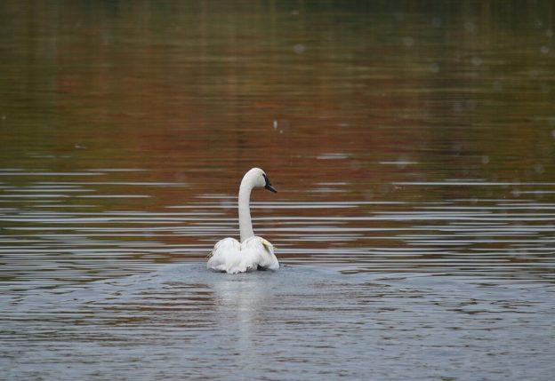 trumpeter swan M97 released at milliken park_toronto
