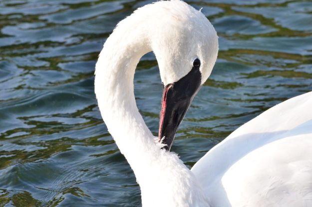 trumpeter swan female at milliken park - toronto - 1