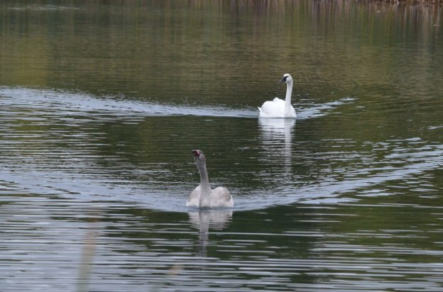 trumpeter swan with its cygnet at milliken park_toronto