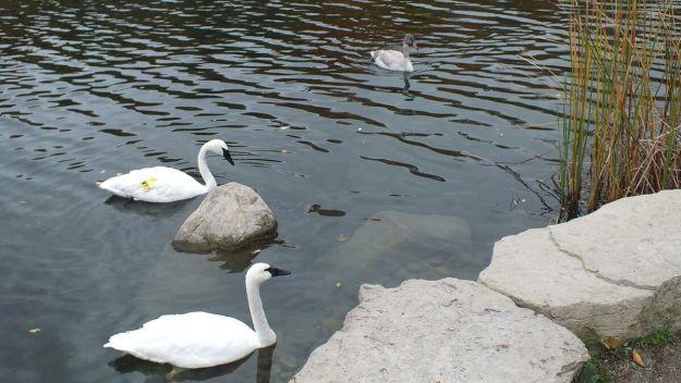 trumpeter swans at milliken park - toronto 6
