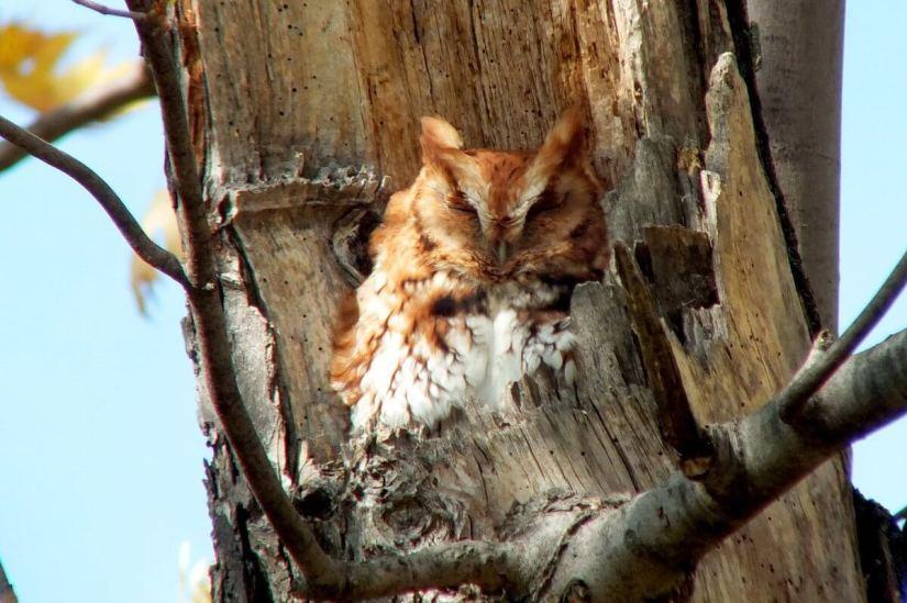 Eastern Screech Owl_red morph_burlington_ontario_6