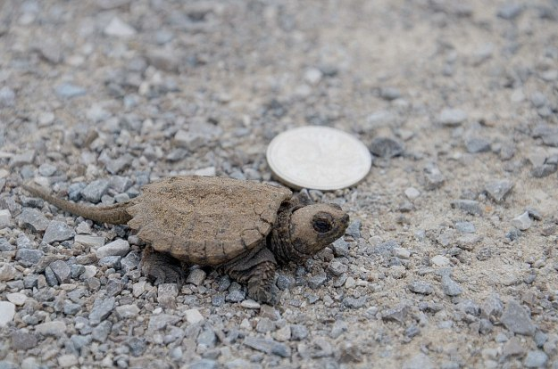 baby snapping turtle - aurora - ontario 14