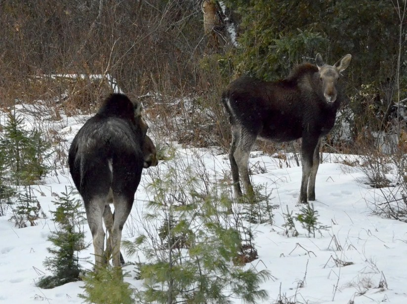 calf and cow moose in algonquin park_ontario 2