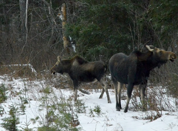 calf and cow moose in algonquin park_ontario 6
