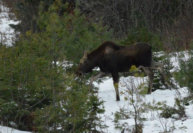 calf moose in algonquin park_ontario 2