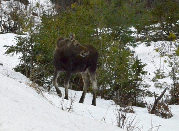 calf moose in algonquin park_ontario 4