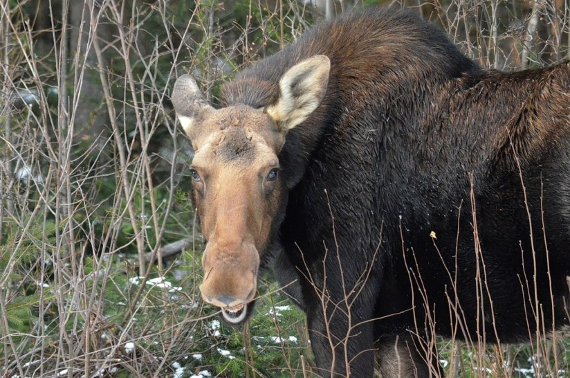 cow moose in algonquin park_ontario 4