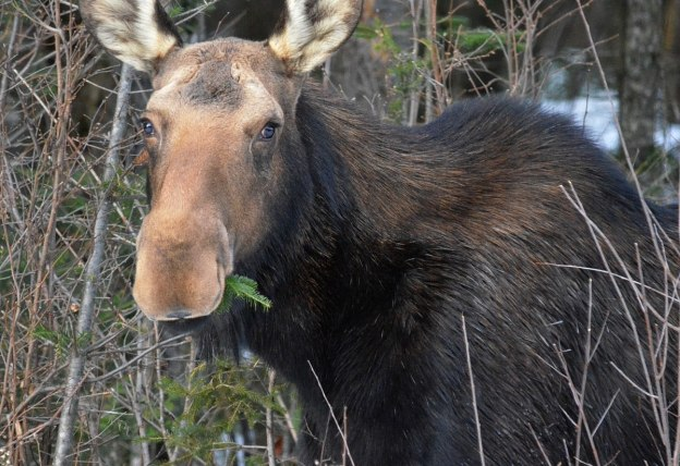 cow moose in algonquin park_ontario 9