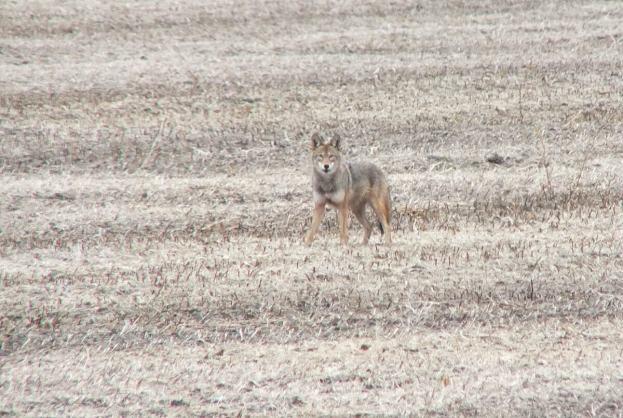 eastern coyote near saintfield, ontario pic 2