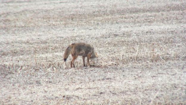 eastern coyote near saintfield, ontario pic 4