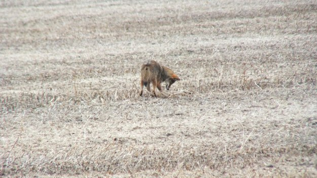 eastern coyote near saintfield, ontario pic 5