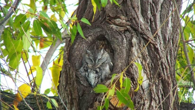 eastern screech owl gray morph_lasalle park_burlington_ontario 10