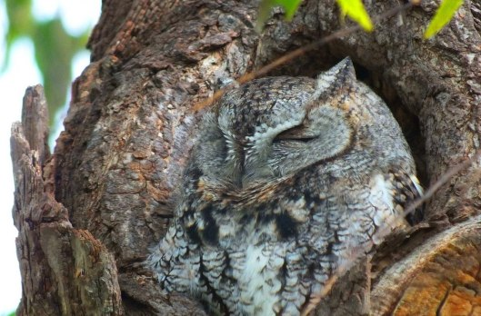 Eastern Screech Owl Gray Morph at La Salle Park in Burlington, Ontario, Canada