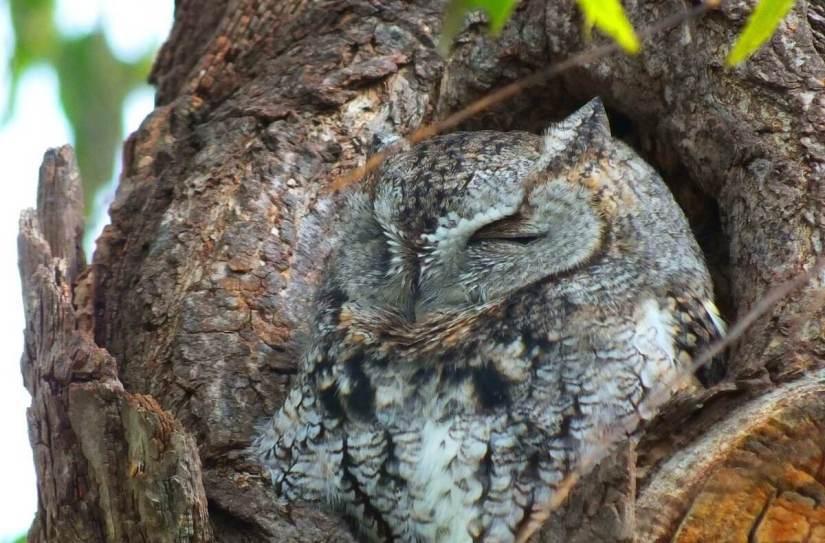 eastern screech owl gray morph_lasalle park_burlington_ontario 2