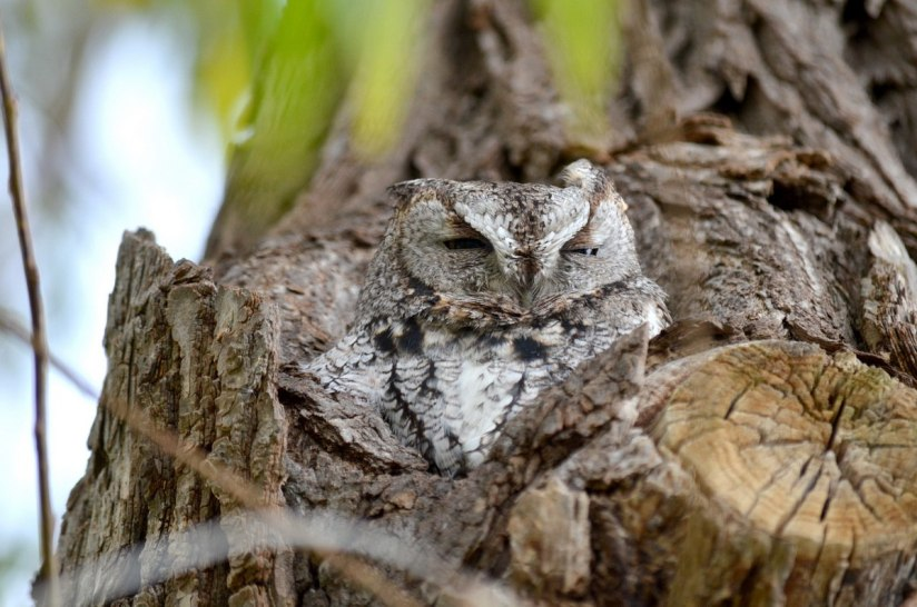 eastern screech owl gray morph_lasalle park_burlington_ontario 4