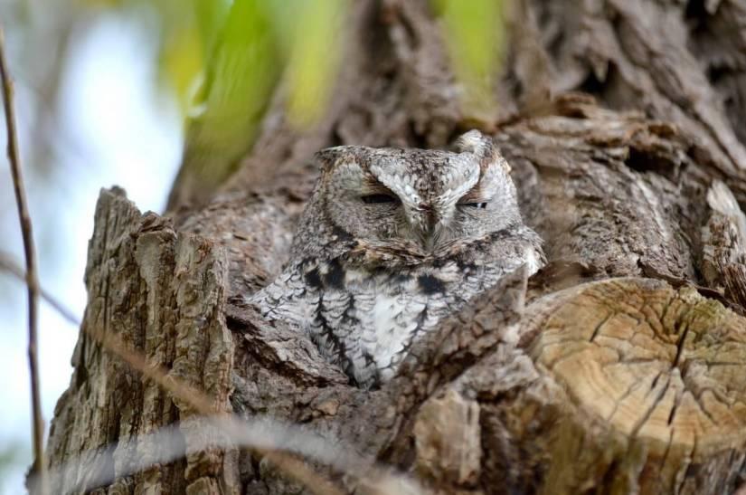 eastern screech owl gray morph, lasalle park, burlington, ontario