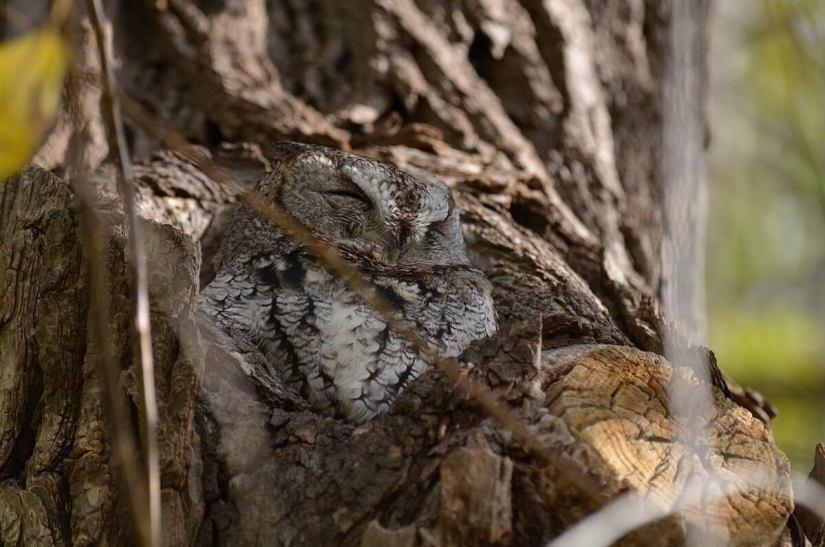 eastern screech owl gray morph_lasalle park_burlington_ontario 7