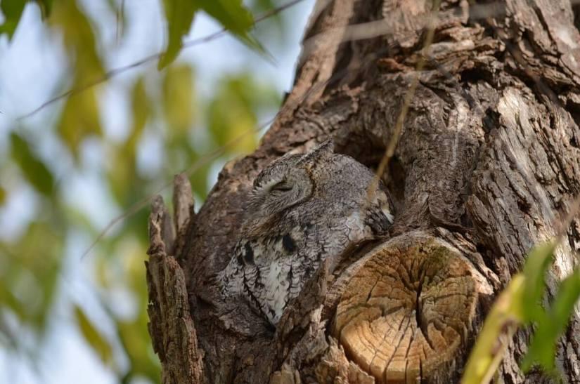 eastern screech owl gray morph_lasalle park_burlington_ontario 8
