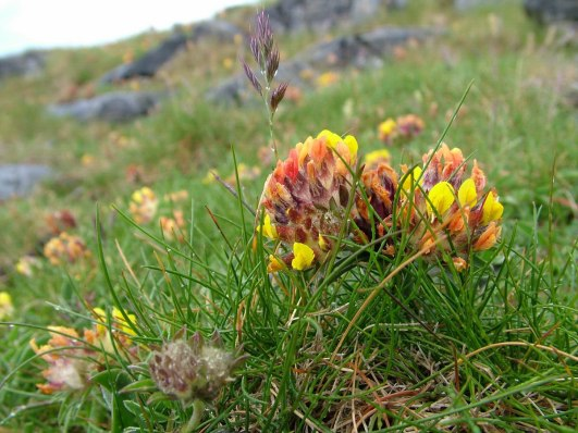 kidney vetch_Anthyllis vulneraria_inishmore_aran islands_ireland