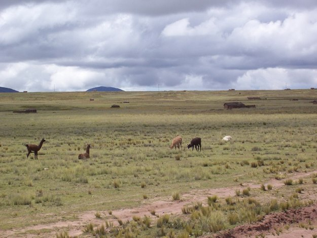Lllamas on the Peruvian altiplano seen from inside the Andean Explorer train in Peru, South America