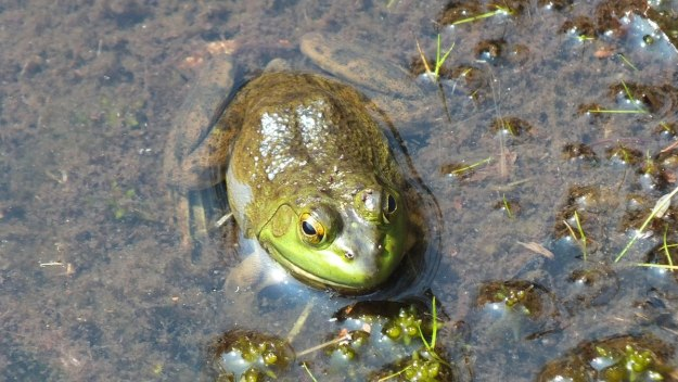 Closeup of a Mink frog sitting along the Mizzy Lake Trail in Algonquin Park, Ontario
