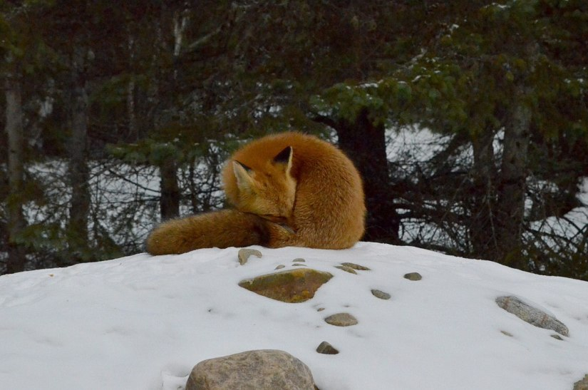 red fox in algonquin park - november 2014 pic 2