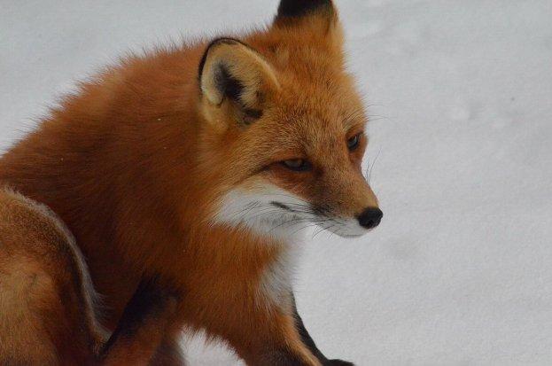 red fox in algonquin park - november 2014 pic 4
