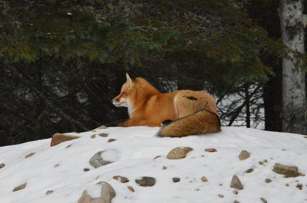 red fox in algonquin park - november 2014 pic 5