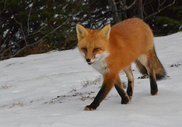 red fox in algonquin park - november 2014 pic 7