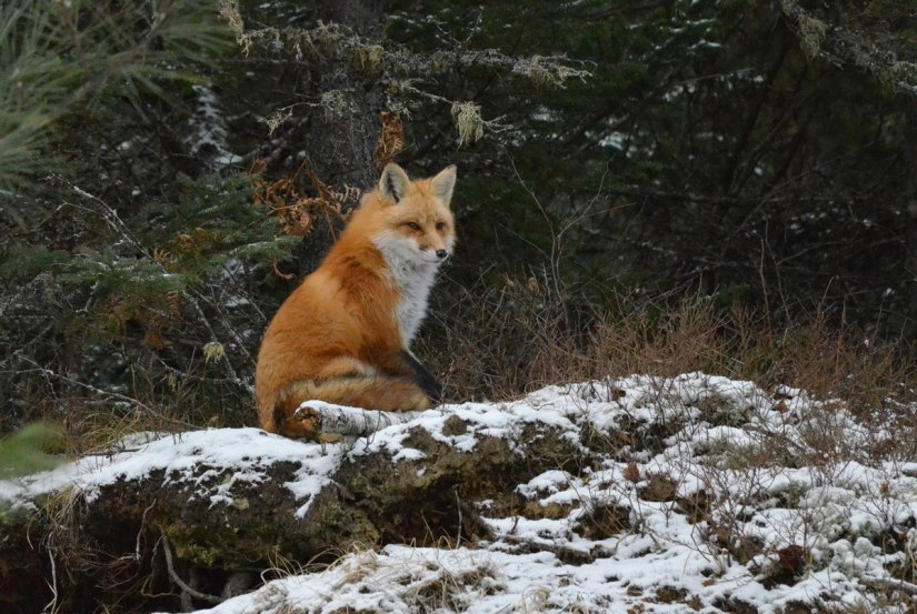 red fox in algonquin park - november 2014
