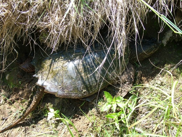 snapping turtle on the oxtongue river - ontario 3