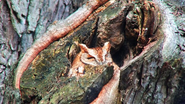 tan morph eastern screech owl_burlington_ontario_ 6