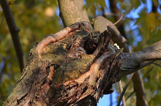 tan morph eastern screech owl_burlington_ontario_ 7
