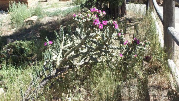 Cactaceae cactus, mesa verde national park , 1