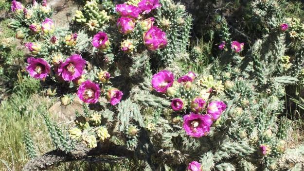 Cactaceae cactus, mesa verde national park, 3