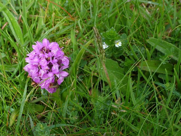 An image of Early Marsh Orchid growing wild in Ireland.