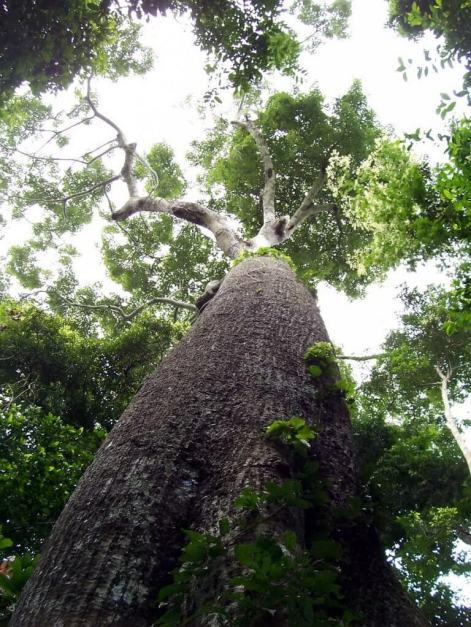 Giant rainforest tree at Sandoval Lake Lodge, Lake Sandoval, Amazon Delta, Peru