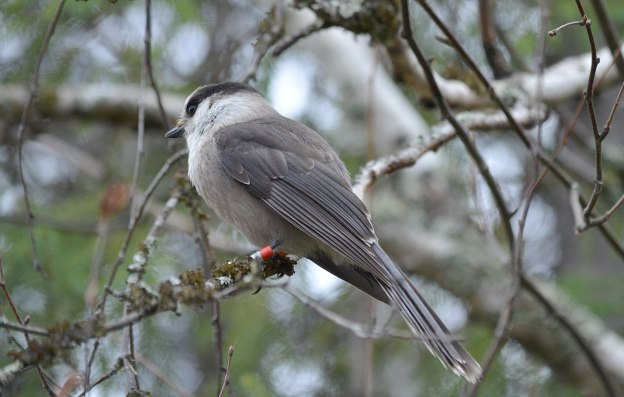 gray jay in algonquin provincial park - ontario - pic 3