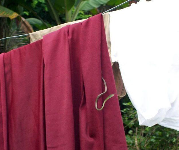 Green-headed tree snake on a clothes line at Sandoval Lake Lodge, Lake Sandoval, Amazon Basin, Peru