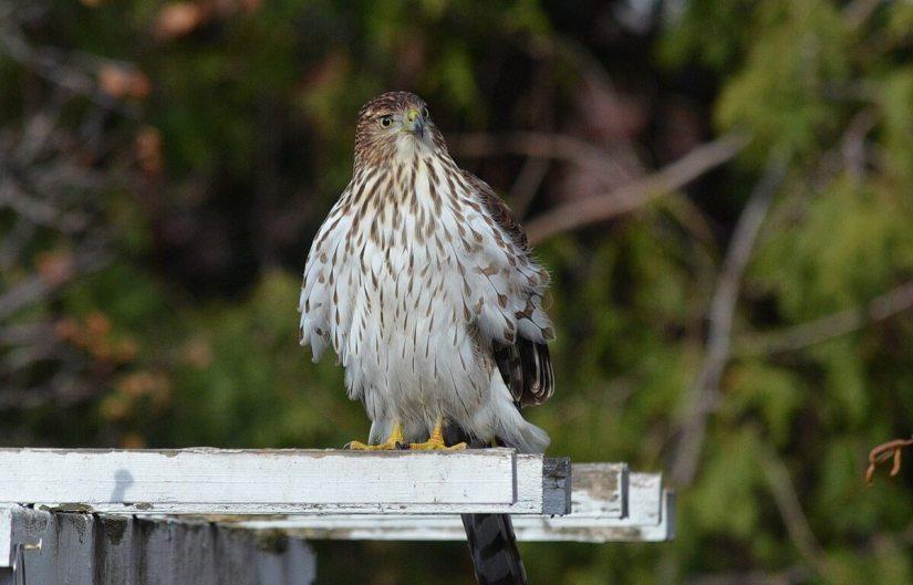 juvenile coopers hawk on arbour - toronto - ontario