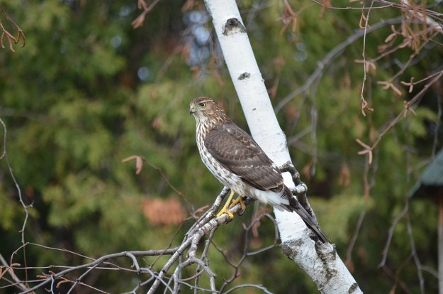 juvenile coopers hawk sitting in tree - toronto - ontario 5